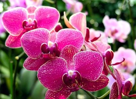 hoa-phong-lan(2)