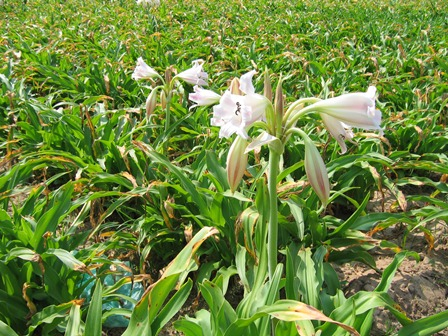 Cay hoa trinh nu hoang cung | Cây và hoa Trinh nữ hoàng cung